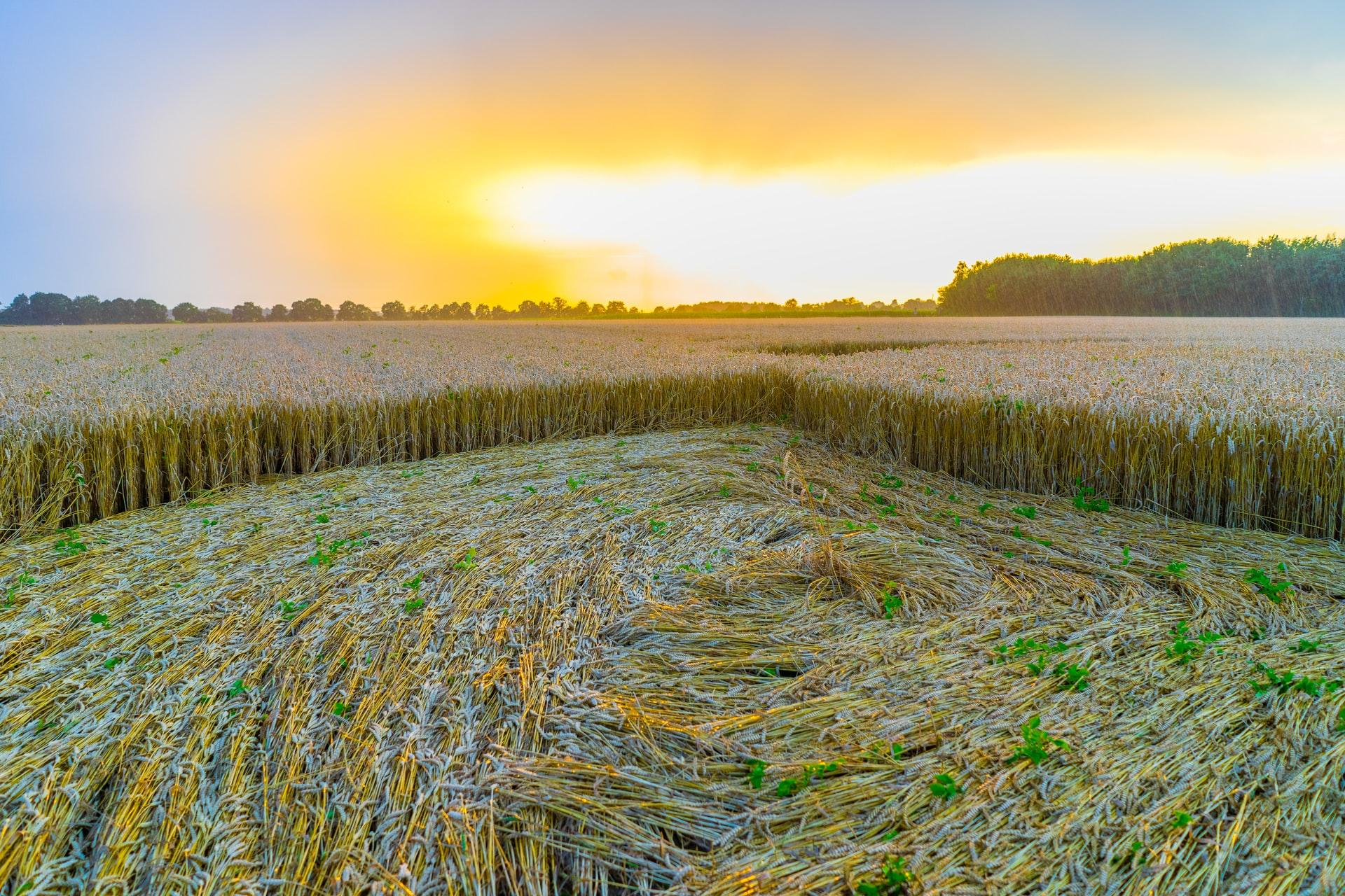 i cerchi nel grano